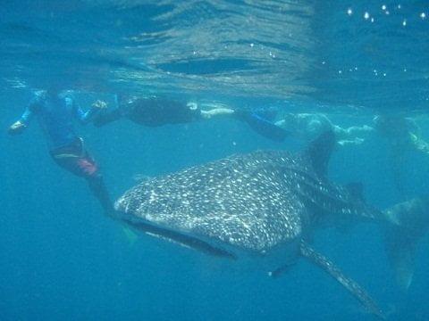 Whale Shark/Butanding of Donsol