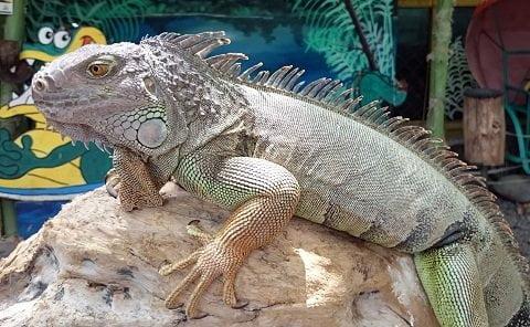 Iguana at the Davao Crocodile Park.