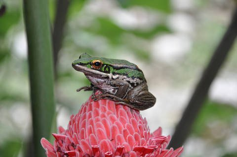 Frog sitting on a Pink Flower. Island Panay. Philippines