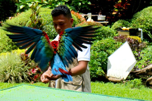 Malagos-bird-show-blue-macaw