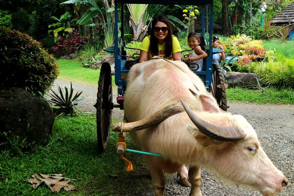 carabao-cart-ride