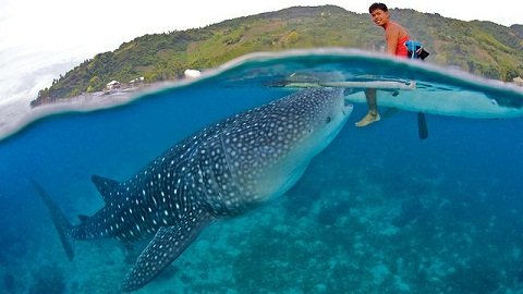 Whale Shark/Tuki of Oslob