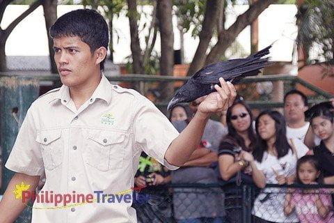 Davao Crocodile Park employee holding blackbird during bird show.