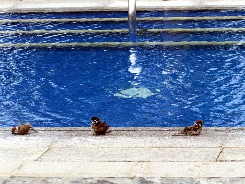 birds-by-the-pool