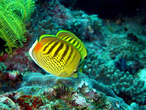Butterfly fish at Anilao Batangas Philippines