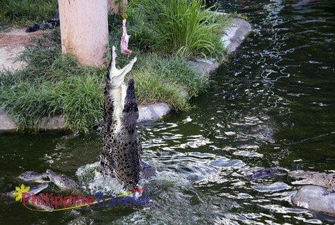 Feeding the crocodiles at the Davao Croc Park.