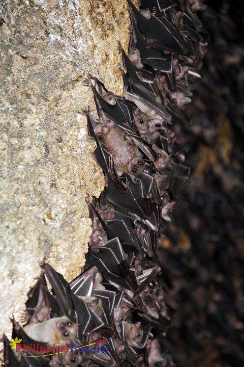 Closeup of Geoffroy's Rousett fruit bat at Monfort Bat Cave on Samal Island.