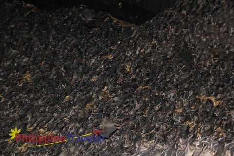 Wall of Monfort Bat Cave in Samal, Philippines covered with Geoffrey's Rousett Fruit Bats