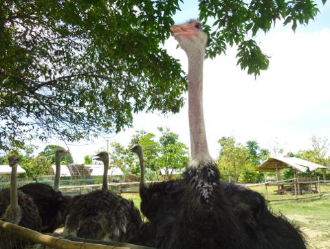 Ostriches resting in the shade at the crocodile park in Davao City.