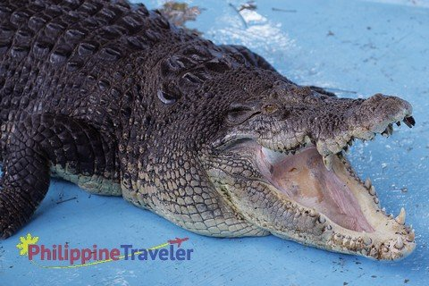 Pangil crocodile with mouth wide open at Davao Croc Park.