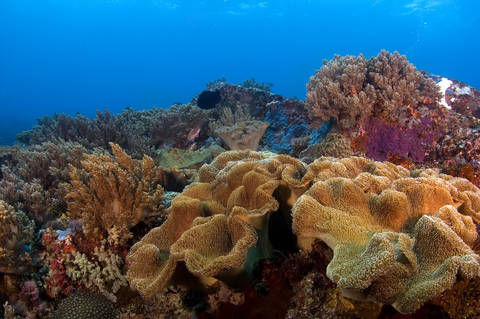 Soft coral at Apo Reef in Mondoro Philippines