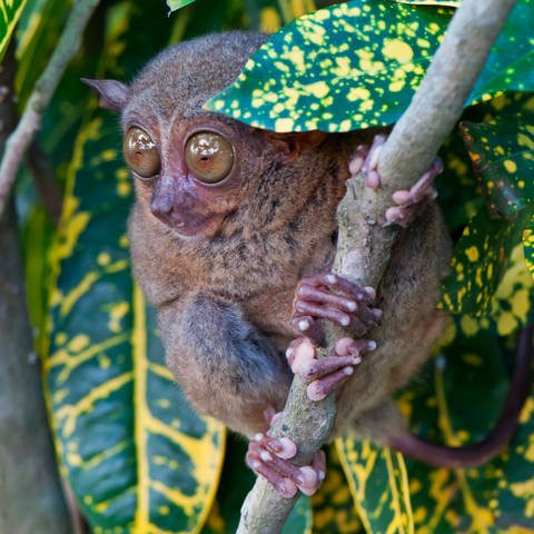 The Philippines Tarsier in a Tree
