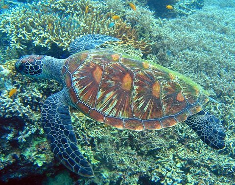 A sea turtle known as pawikan swims among corals in a reef in the Visayas.